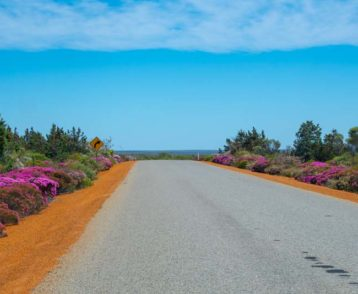 Pink blooming bushes next to the road in Western Australia next