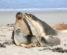 Seals at Seal Bay Kangaroo Island South Australia