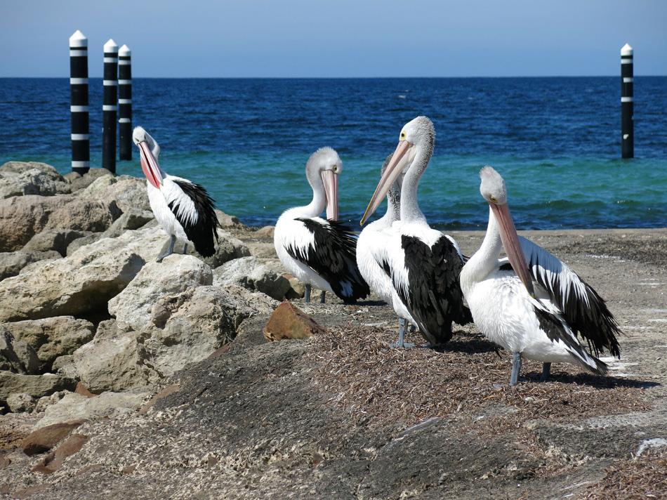 Pelicans at Emu Bay, Kangaroo Island, SA, Australia
