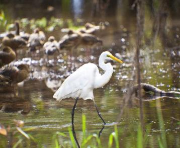 Bird Life of Kakadu National Park White Egret, Yellow Waters, bi